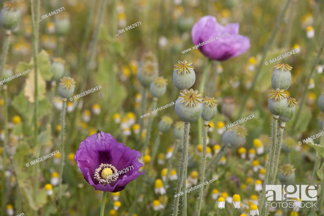 Imagen: Opium poppy (Papaver somniferum), flower and capsule fruit, Baden-Württemberg, Germany, Europe.