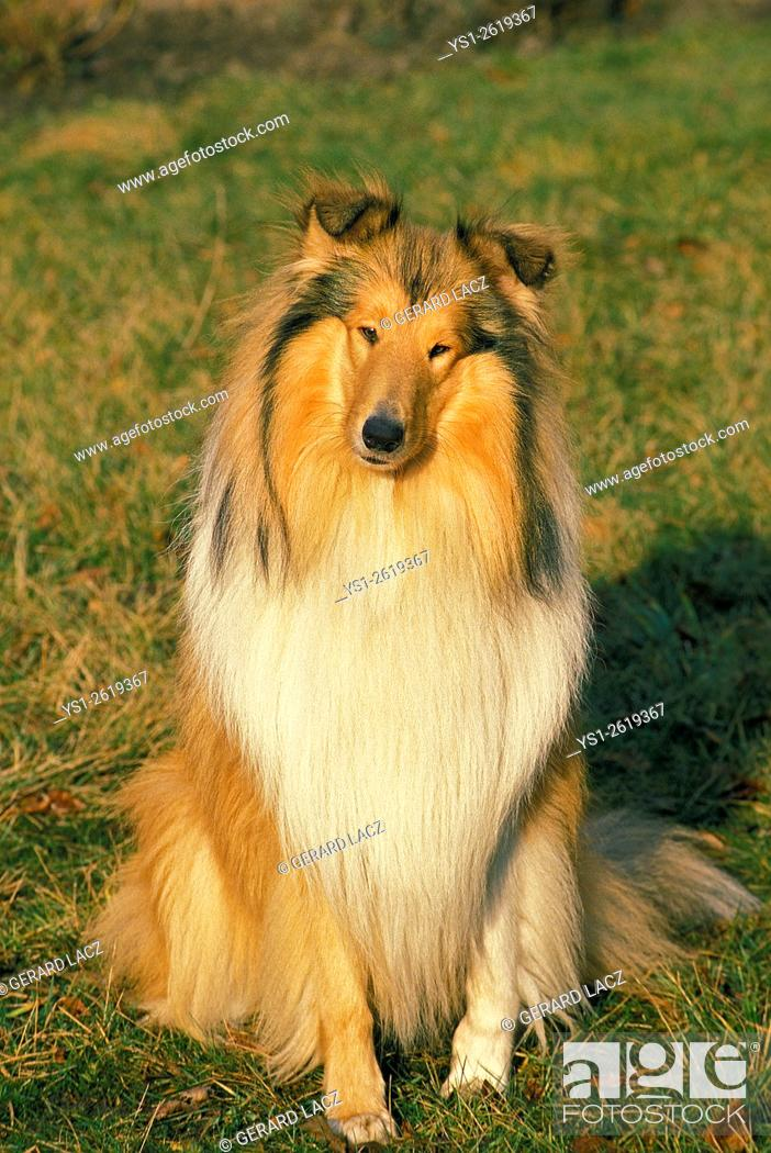 Stock Photo: Collie Dog sitting on Grass.