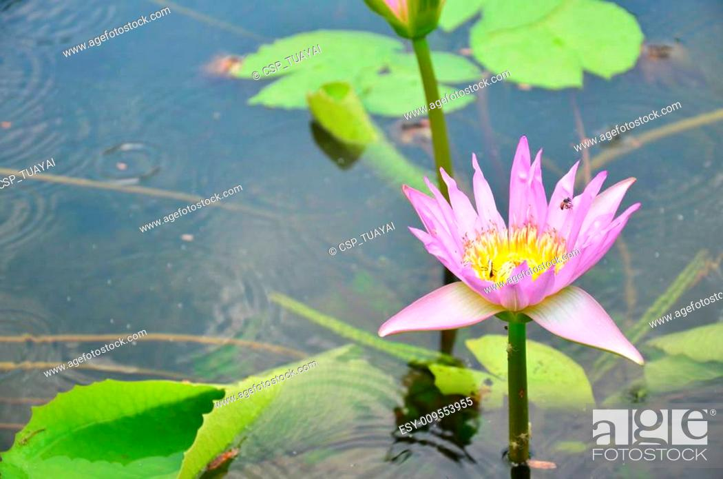 Stock Photo: bee working on lotus in garden pond.