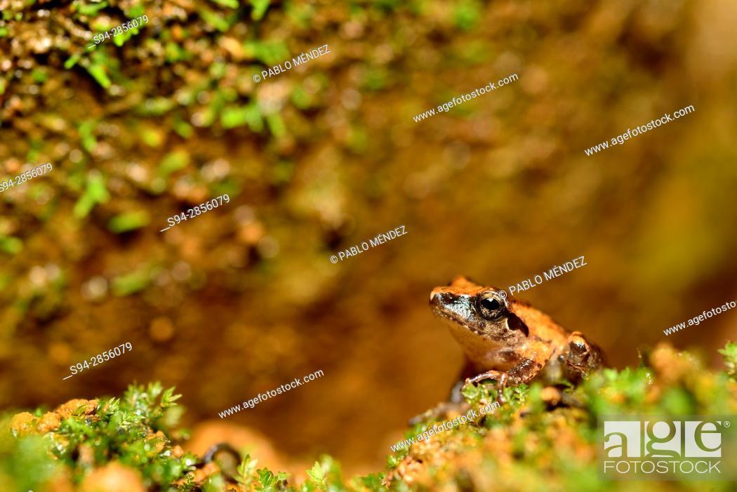 Imagen: Small frog (Polypedates maculatus) in Cotigao sanctuary, Goa, India.
