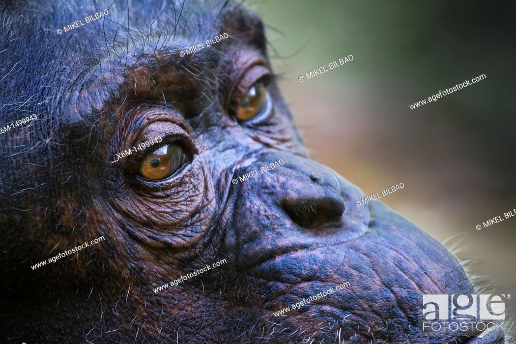 Stock Photo: common chimpanzee Pan troglodytes.