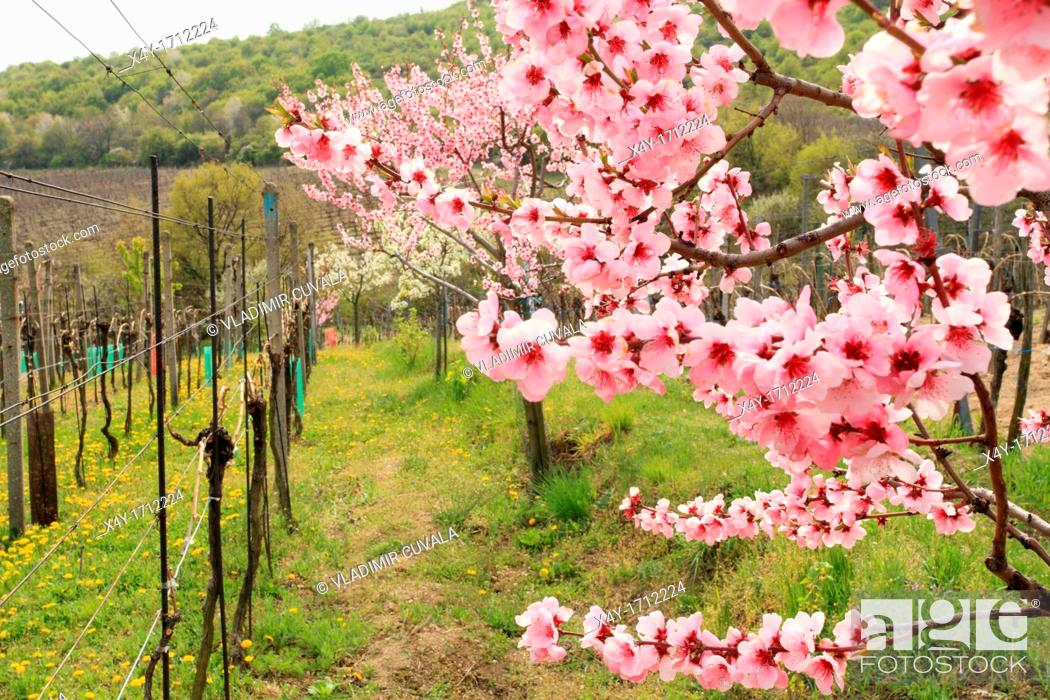 Stock Photo: The pink blossoms of a peach tree at the vineyards near Modra, Slovakia.