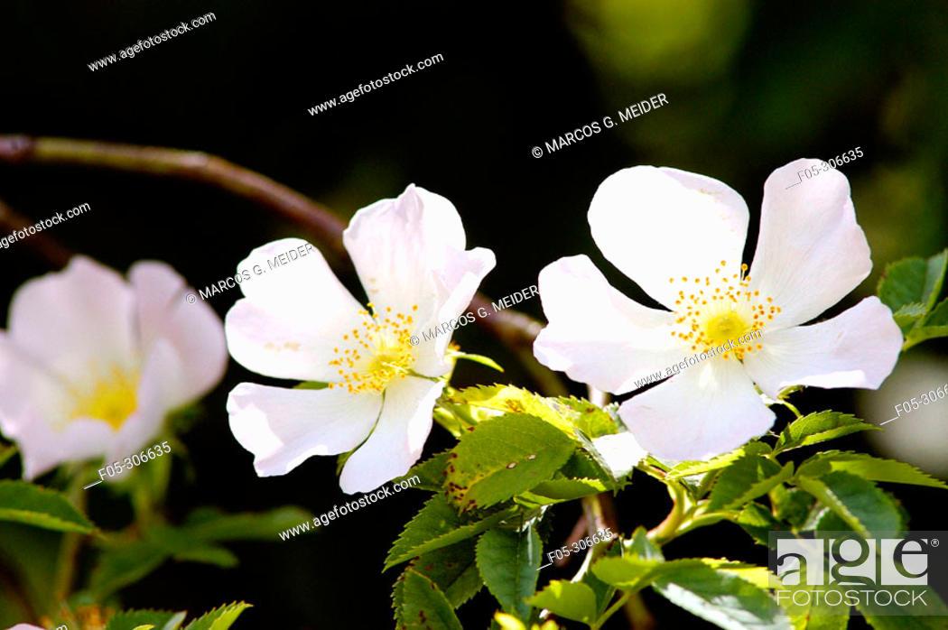 Stock Photo: Dogrose (Rosa canina). England.