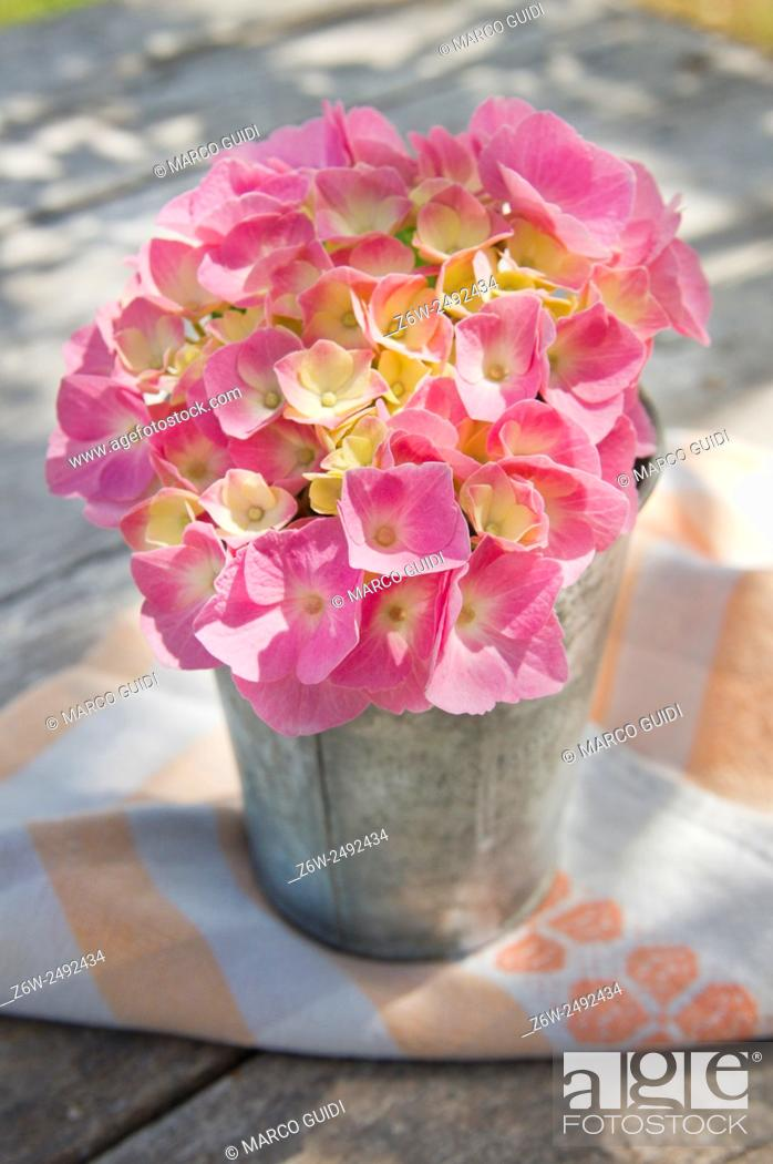 Stock Photo The Flower Pink Hydrangea In Full Bloom Late Spring