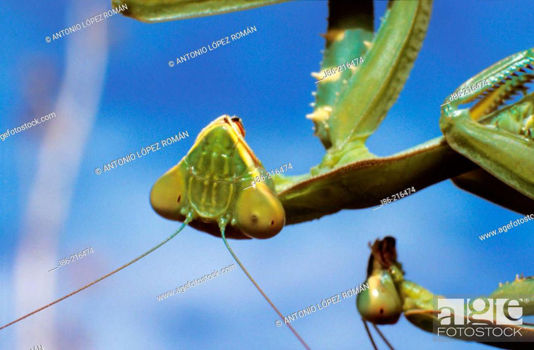 Stock Photo: Praying Mantis (Mantis religiosa) mating, detail.