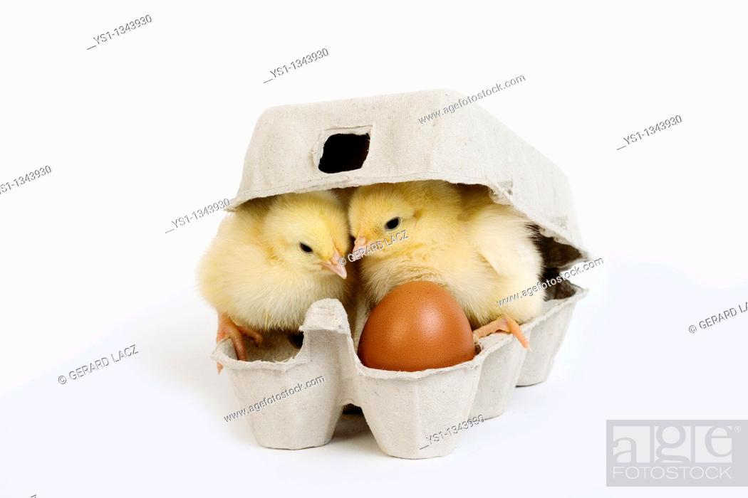 Stock Photo: CHICKS AND EGG BOX.