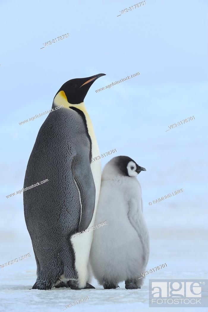 Imagen: Emperor penguins, Aptenodytes forsteri, with a Chick, Snow Hill Island, Antartic Peninsula, Antarctica.