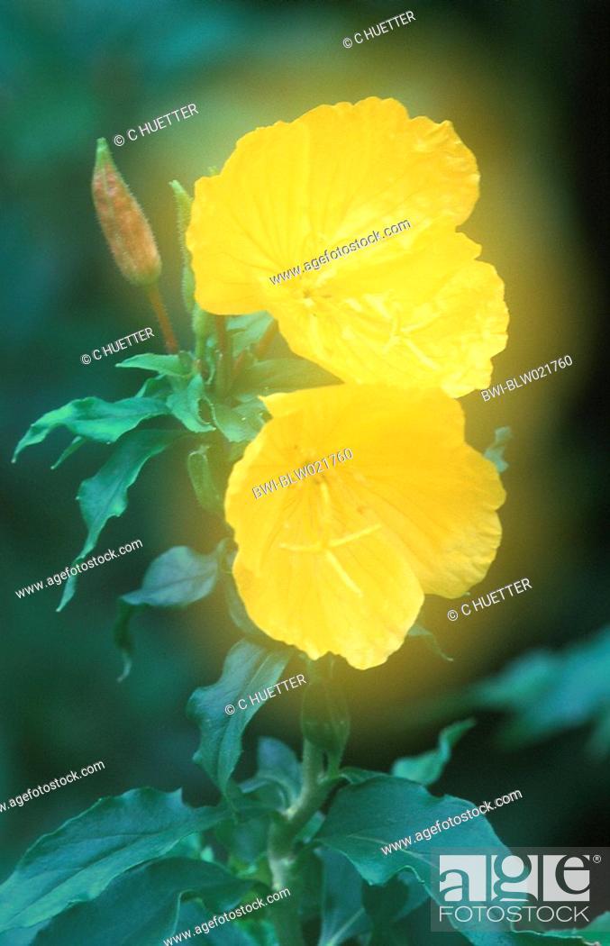 Stock Photo: golden sundrops Oenothera tetragona, double exposure.