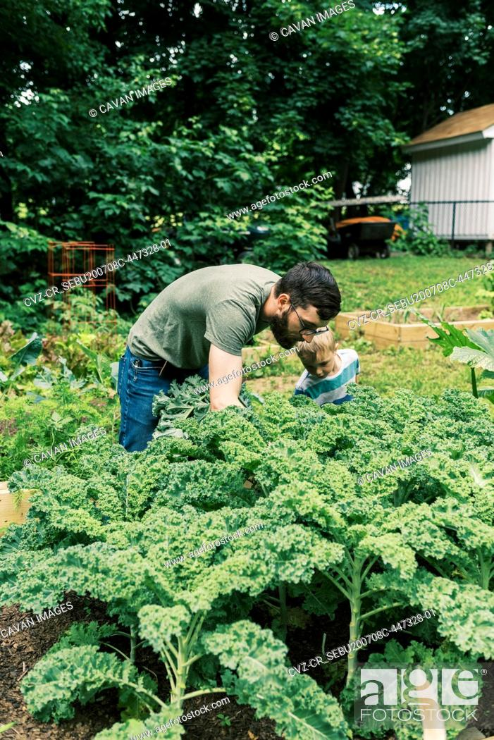 Stock Photo: A millennial father and his son harvesting kale for dinner.