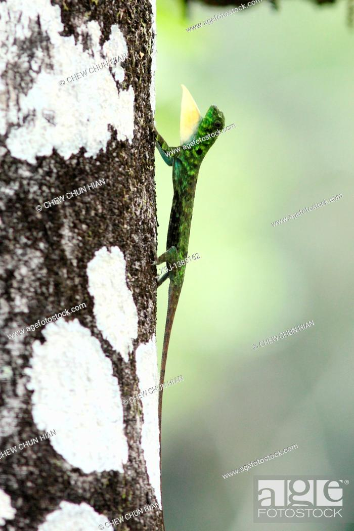 Stock Photo: Flying dragon, Flying lizard Draco volans, male showing impressing behaviour, Bako National Part, Sarawak, Malaysia.