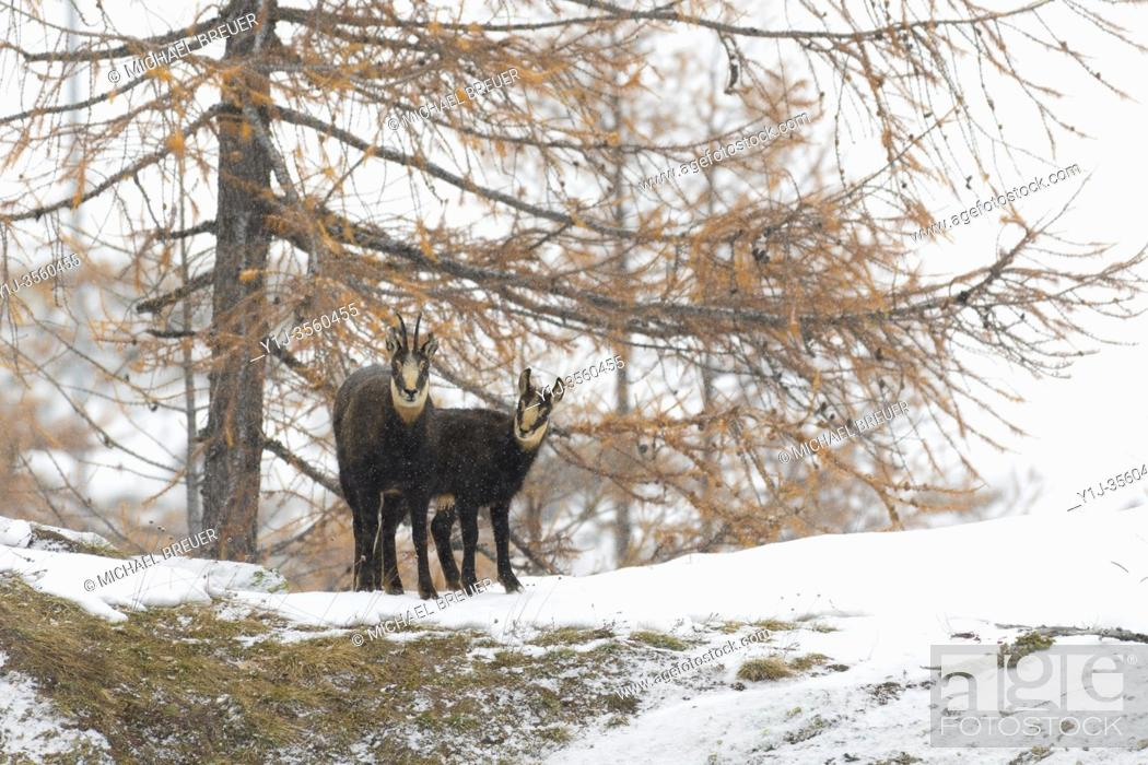 Stock Photo: Chamois (Rupicapra rupicapra), Female with Young, Gran Paradiso National Park, Alps, Italy, Europe.