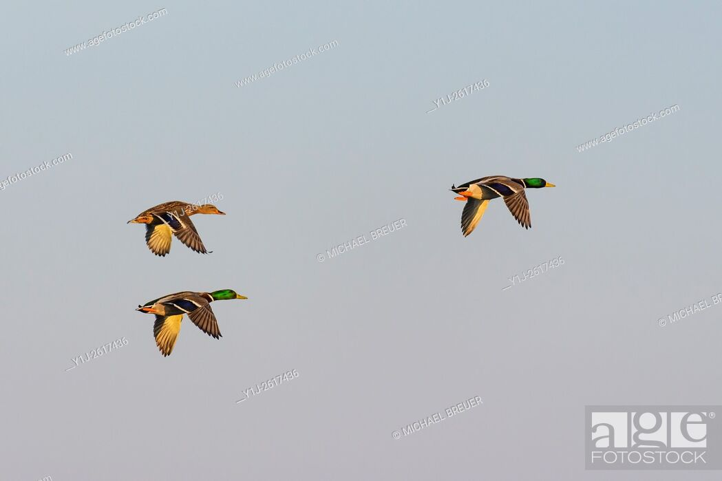 Stock Photo: Flying Mallards, Male and Female, Hesse, Germany, Europe.