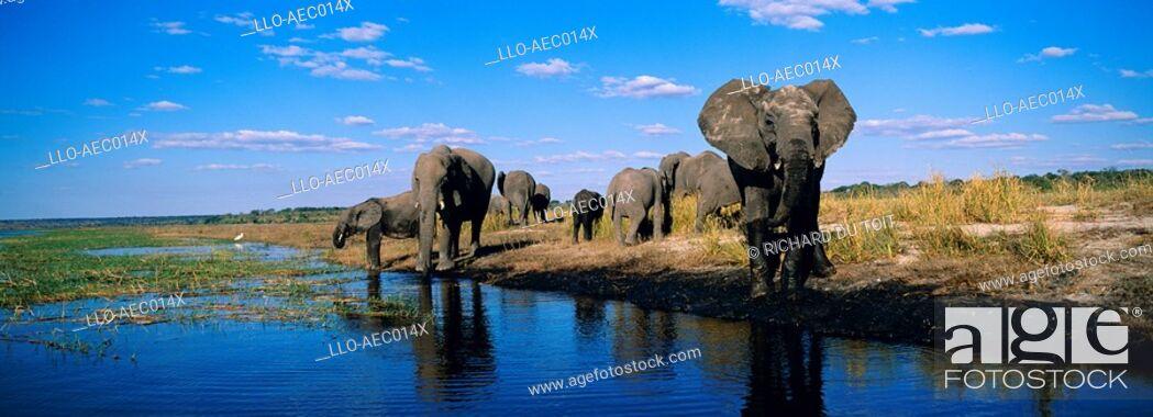 Stock Photo: Elephant Loxodonta africana Herd Drinking from the Chobe River  Chobe National Park, Botswana.
