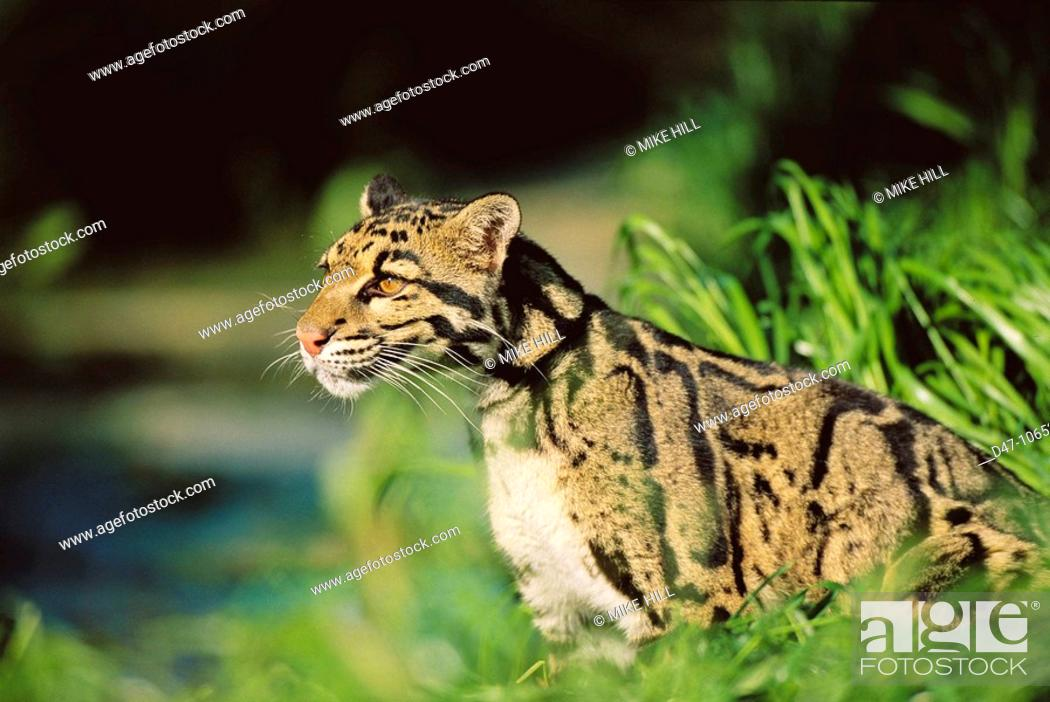 Stock Photo: Clouded Leopard (Neofelis nebulosa).
