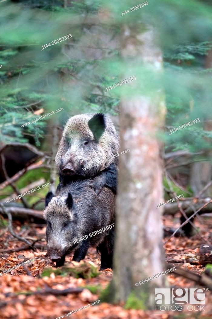 Stock Photo: Wildschweine im Herbst.