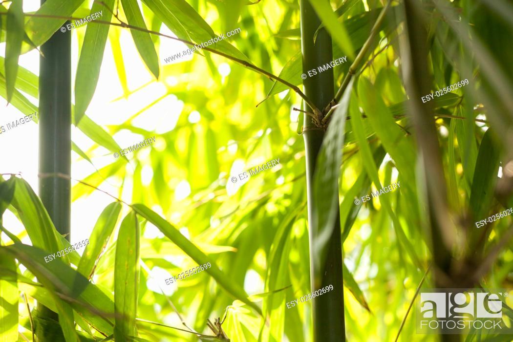 Stock Photo: Bamboo shots in the Himalayas.