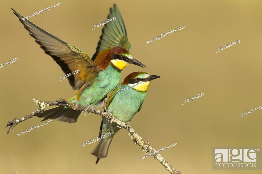 Stock Photo: Twin European Bee Eaters. Spain.