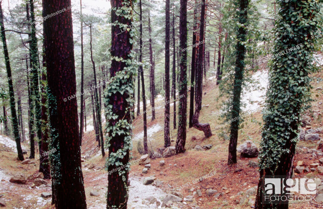 Stock Photo: Pine forest (Pinus sylvestris) in Penyagolosa. Castellon province. Comunidad Valenciana. Spain.