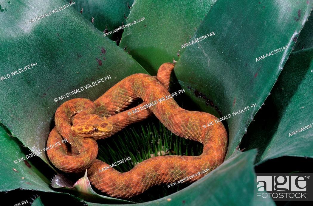 Imagen: Eyelash Viper (Bothriechis schlegelli) C. & S. America.
