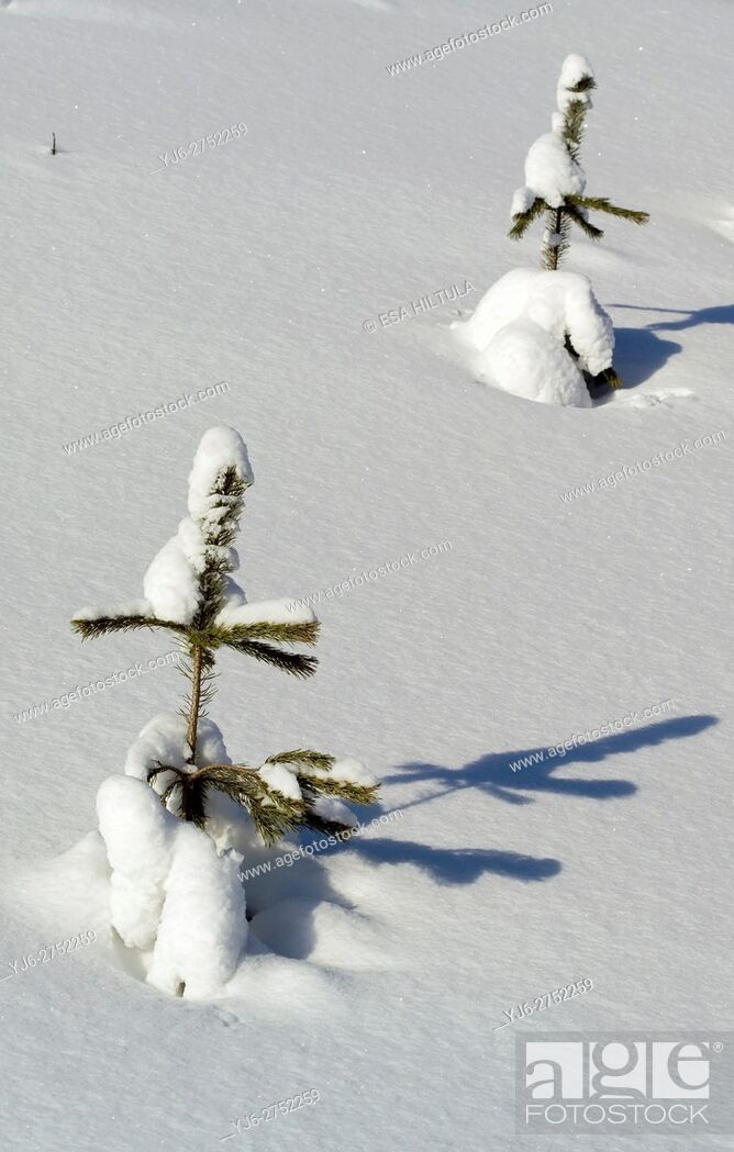 Stock Photo: Young pine sapling.
