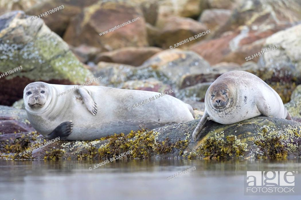 Imagen: Harbour Seal (Phoca vitulina). Two adults resting on rocks at the shore. Svalbard, Norway.