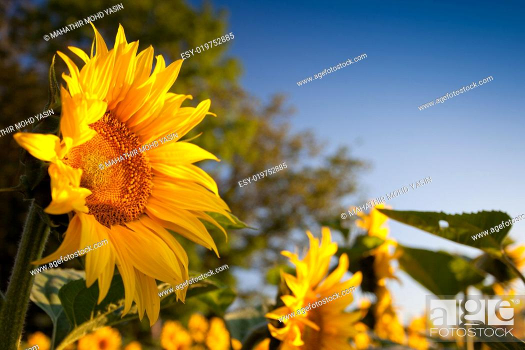 Stock Photo: Sunflower and Sunrise.