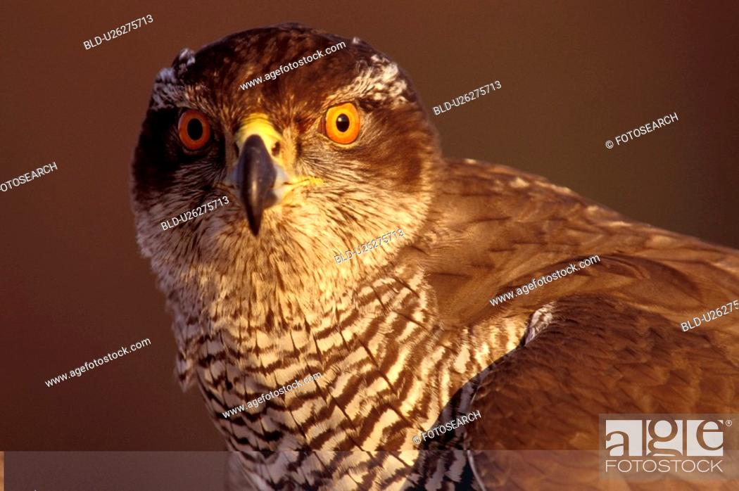 Stock Photo: federn, abenddaemmerung, accipiter, animals, aves.