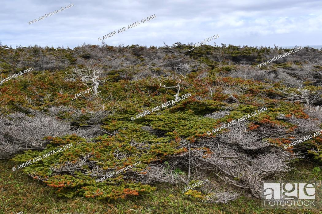 Imagen: Coastal forest, shaped by wind on Cape St. George, Newfoundland & Labrador, Canada.