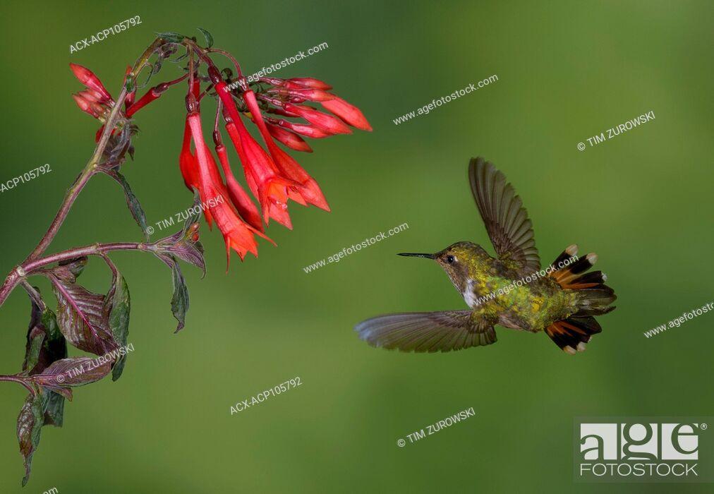 Imagen: Female Volcano Hummingbird (Selasphorus flammula) San Gerrardo de Dota, Costa Rica.