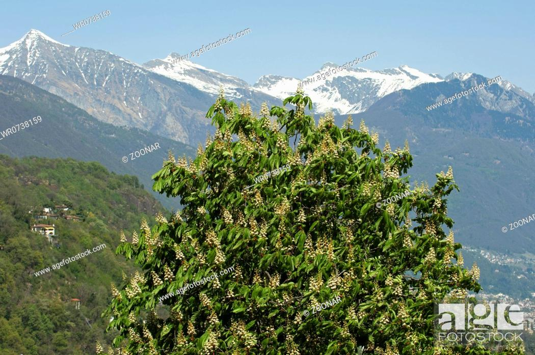Stock Photo: Flowering Horse-chestnut, Ticino, Switzerland.