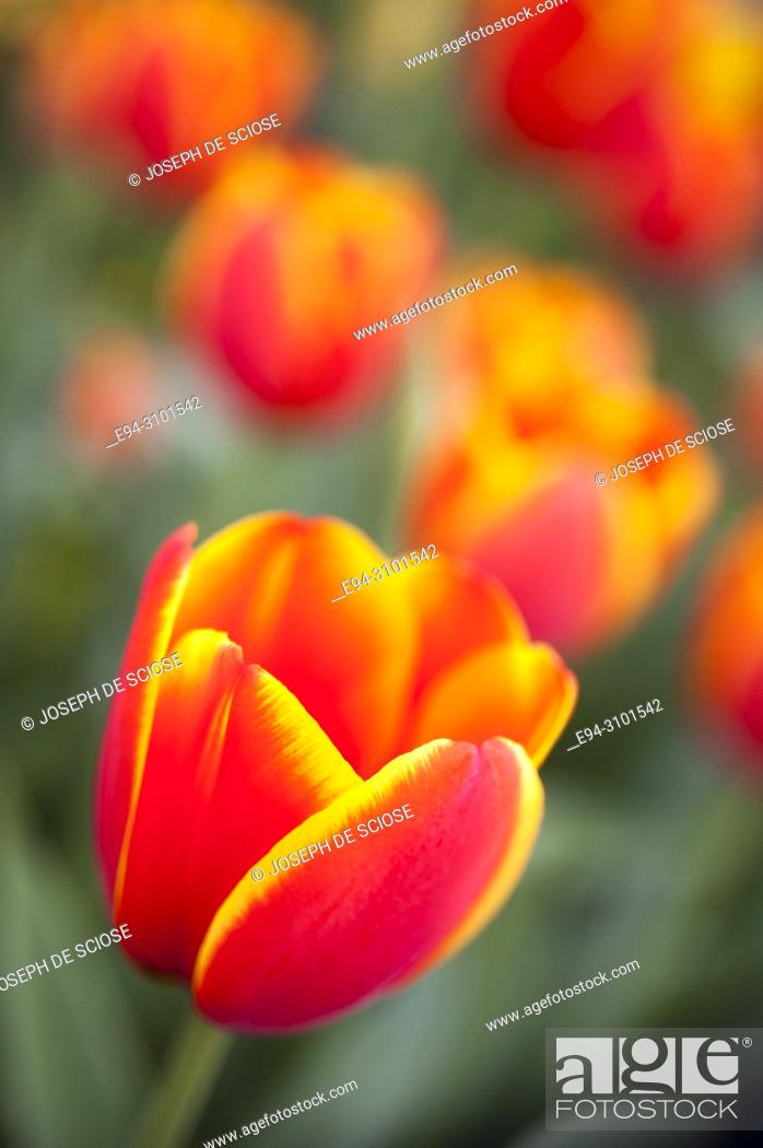 Photo de stock: Close-up of a a variegated orange and yellow tulip in a garden in the springtime.