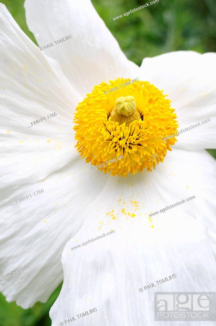 Imagen: Poppy, Californian Tree Poppy, Romneya coulteri, White flower with yellow stamen growing outdoor.-.