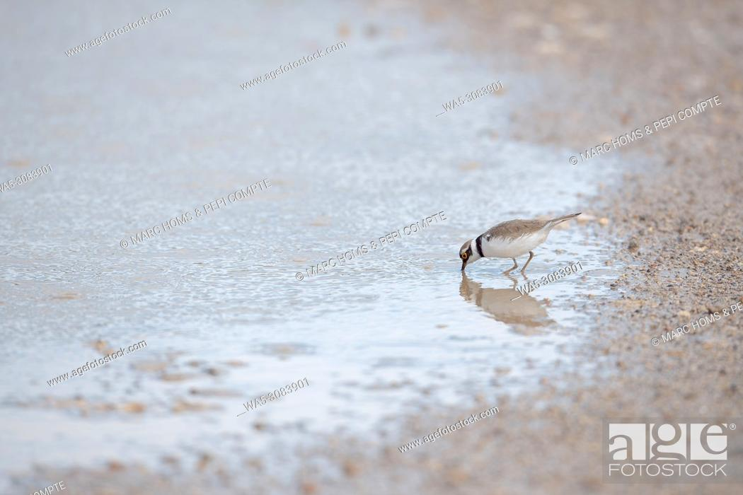 Imagen: A Little ringed plover drink water in Garrotxa, Catalonia, Spain.