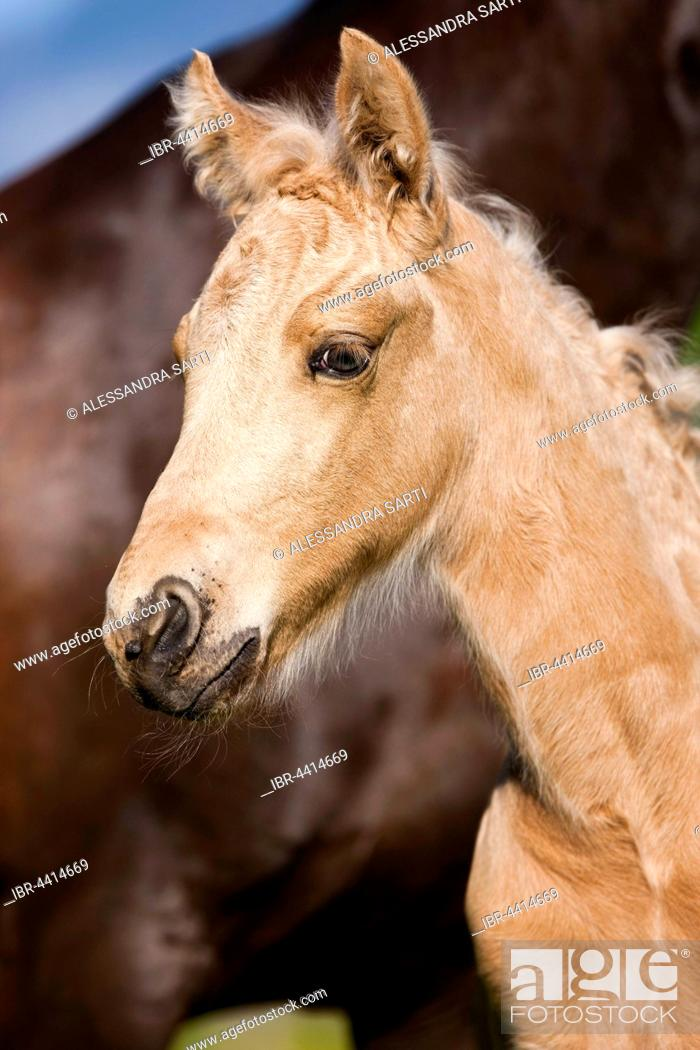 Stock Photo: Palomino Morgan horse foal, Tyrol, Austria.
