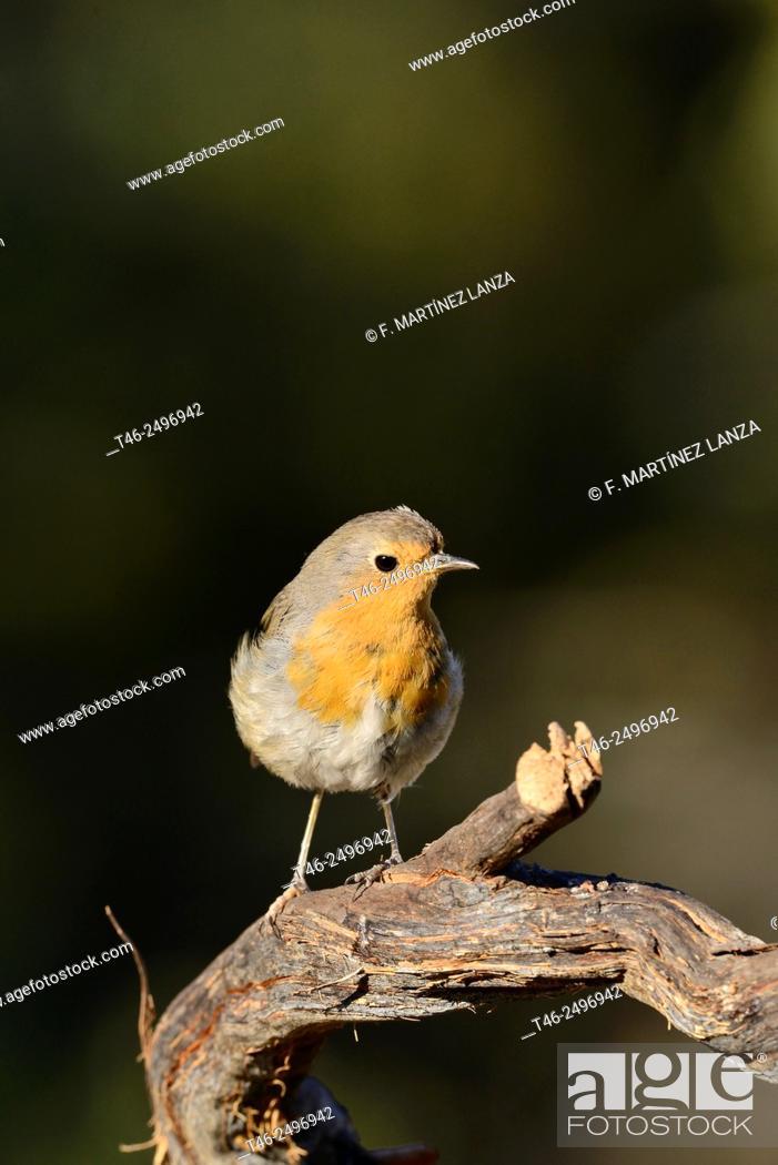 Stock Photo: European Robin Erithacus rubecula. Fotograviado in Fresnedilla de la Oliva. Madrid.