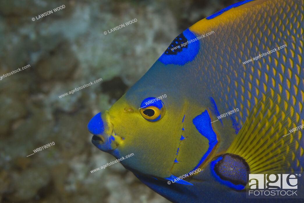 Imagen: Queen angelfish Holacanthus ciliaris, profile of head, showing brilliant colour markings, Cayman Islands, Caribbean.