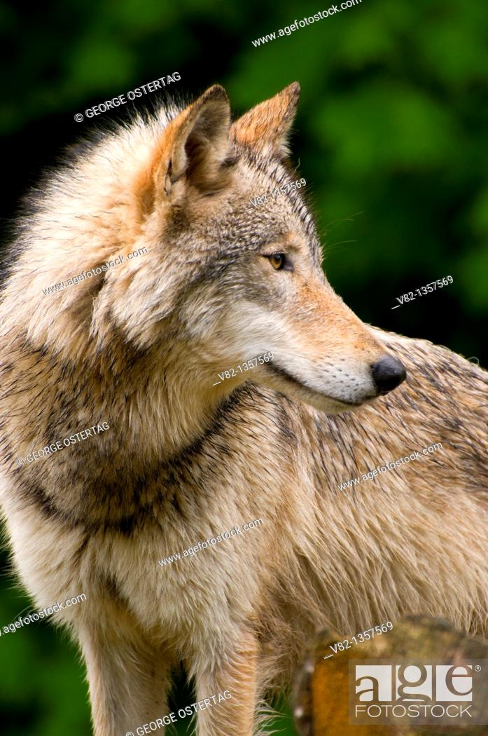 Stock Photo: Timber wolf, Oregon Zoo, Washington Park, Portland, OR.