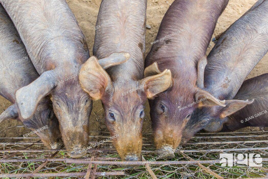 Imagen: Iberian piglets close to fence Badajoz province, Extremadura, Spain.