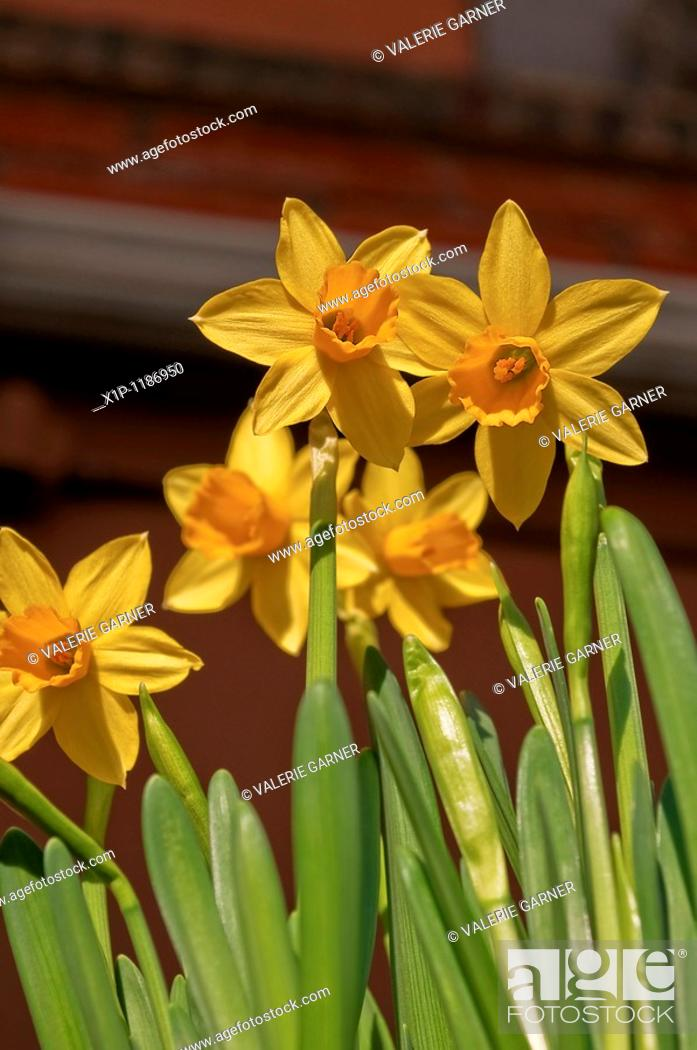 Stock Photo: This vertical orientation floral image are some yellow beautiful spring narcissus flowers in an upward view These spring bulbs are a sure sign of better weather.