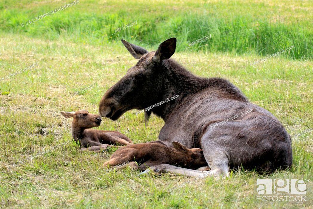 Stock Photo: Eurasian elks, moose (Alces alces), cow moose and two calves, Scandinavia, Europe.