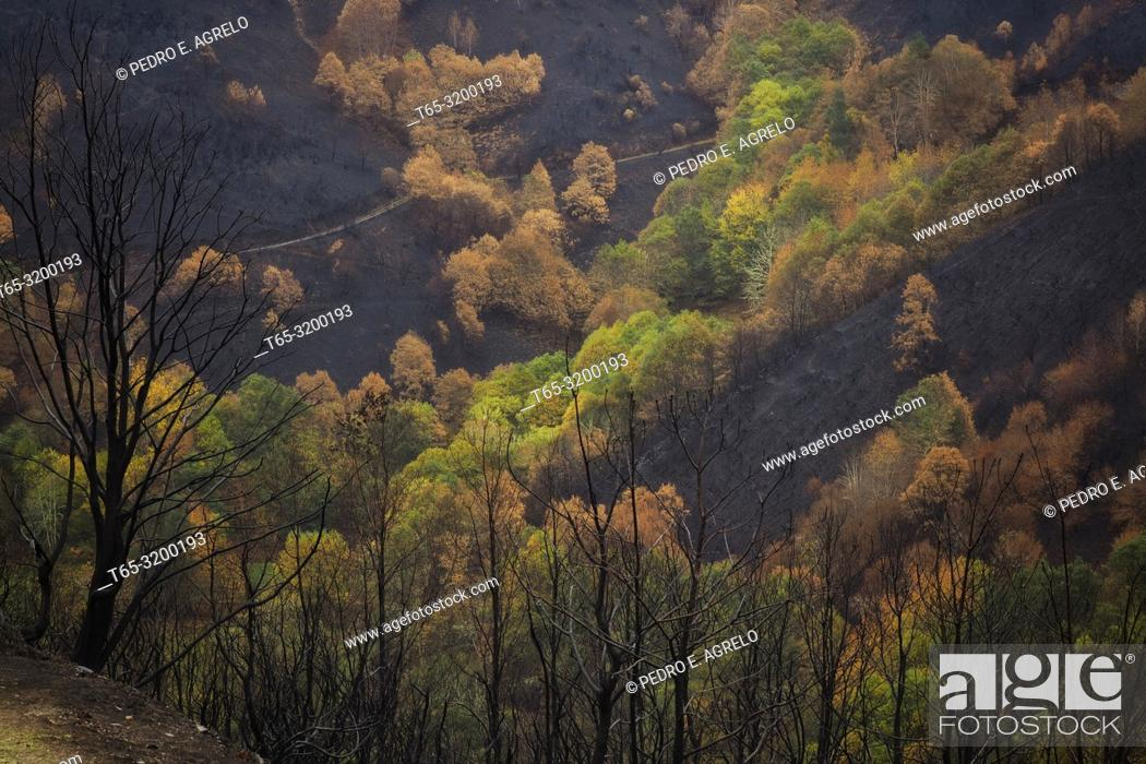 Stock Photo: Area affected by a forest fire. Cervantes, Doiras, Lugo province, Galicia, Spain. Date: 07-11-2017.