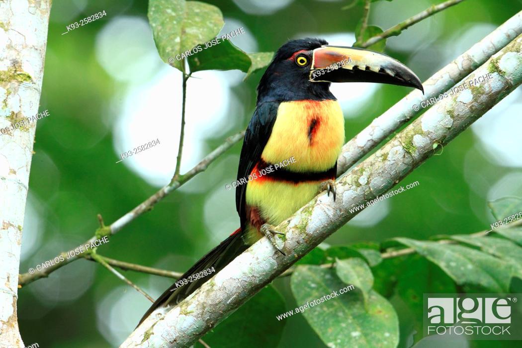 Imagen: Costa Rica, Nicoya peninsula, Collared aracari (Pteroglossus torquatus) perching on branch.