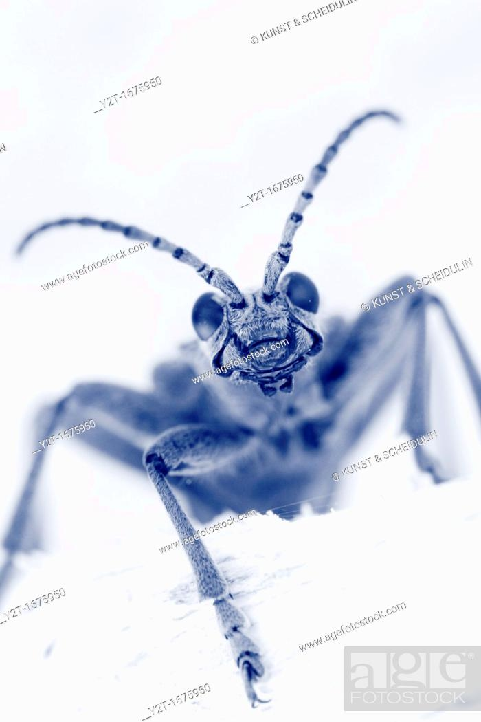 Stock Photo: Longhorn beetle Rhagium mordax, fam  Cerambycidae Vaesternorrland, Sweden.