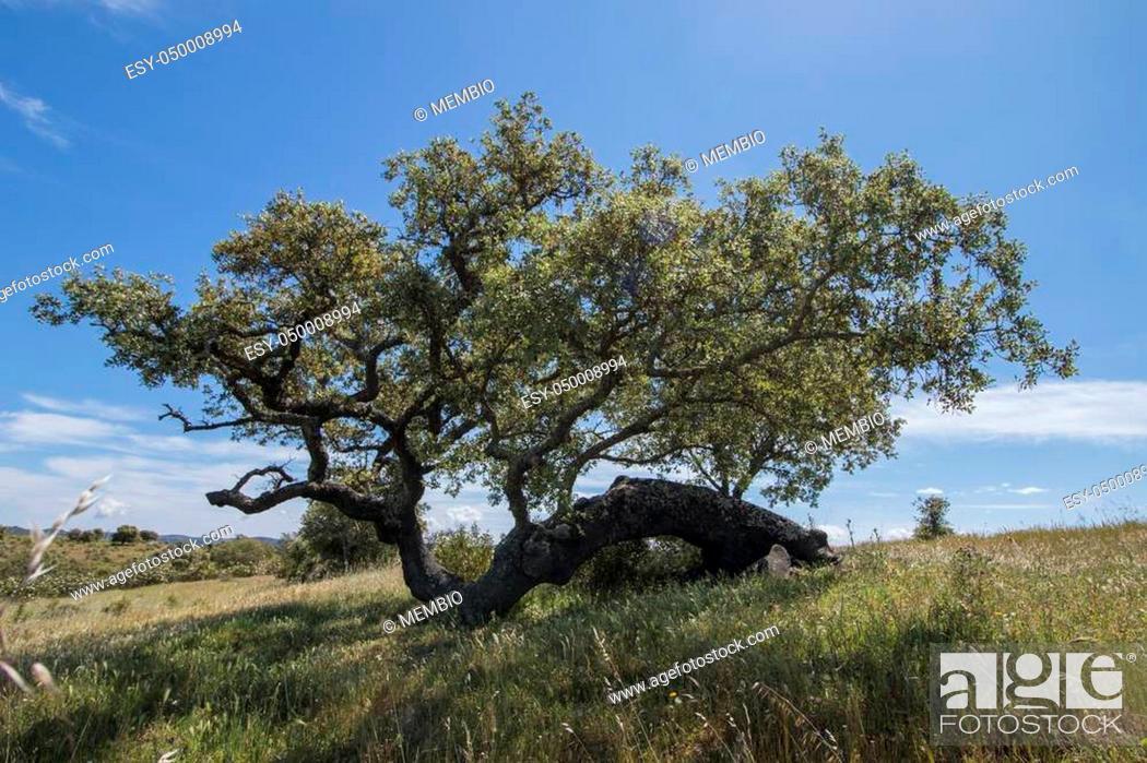 Photo de stock: View of quercus ilex tree landscape in Alentejo.