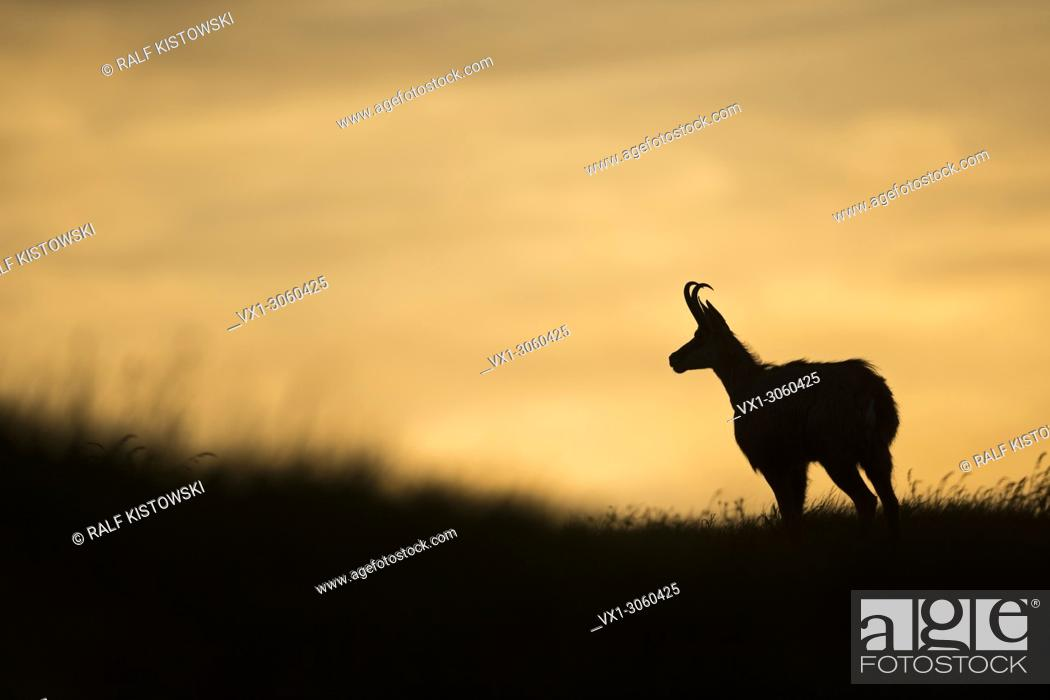 Stock Photo: Chamois / Alpine Chamois (Rupicapra rupicapra) standing on a top of a mountain meadow, in last light, typical silhouette, side view, wildlife, France, Europe.