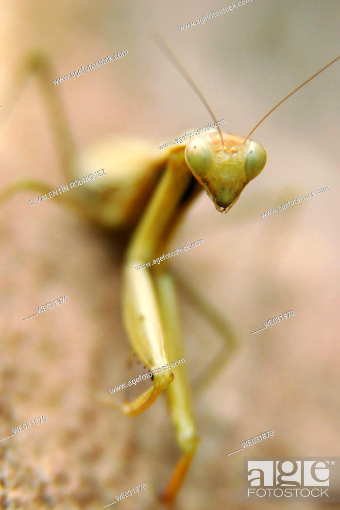 Stock Photo: Mantis (Empusa pennata).