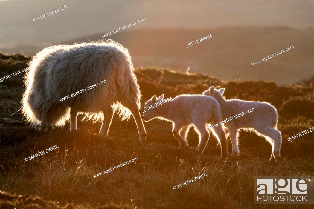 Stock Photo: Shetland Sheep on the Shetland Islands. Shetland Sheep are a traditional, hardy breed of the Northern Isles in Scotland.  Europe, Great Britain, Scotland.