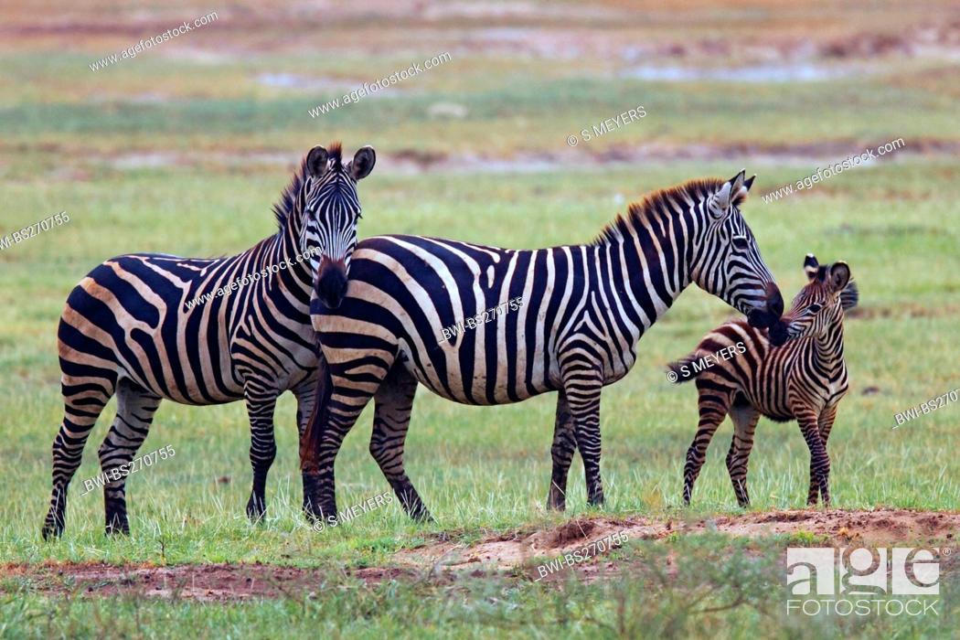 Stock Photo: Boehm's zebra, Grant's zebra Equus quagga boehmi, Equus quagga granti, herd of zebras with pups in savannah, Tanzania, Lake Manyara National Park.