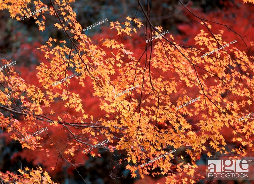 Stock Photo: Yellow Maple Leaves On Branch.