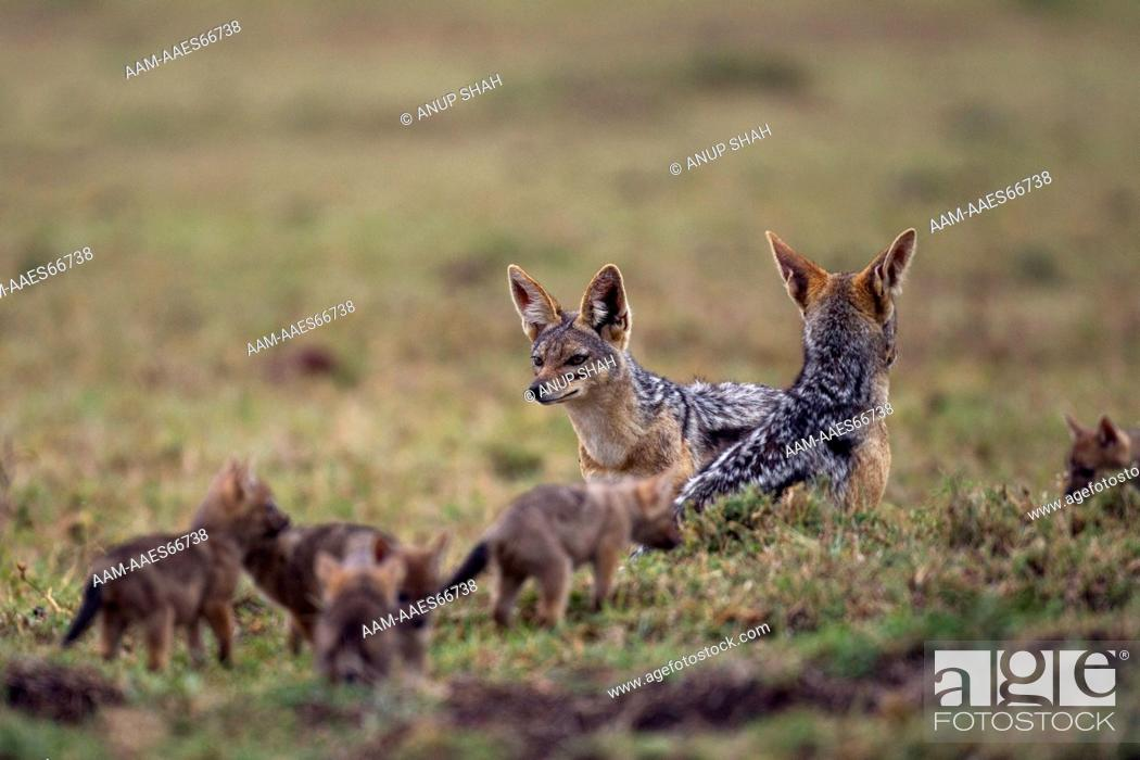 Imagen: Black-backed jackals with playful pups aged 3 weeks (Canis mesomelas). Maasai Mara National Reserve, Kenya. Aug 2011.